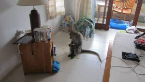 Our hotel may have been a little too close to the monkey forest - this guy came in the hotel room and ate our crackers one morning!
